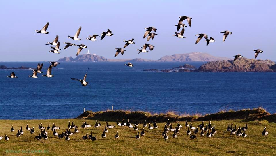 Barnacle Geese Malin Head